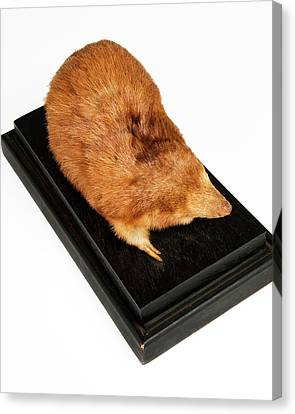 Stuffed Giant Golden Mole Canvas Print by Ucl, Grant Museum Of Zoology
