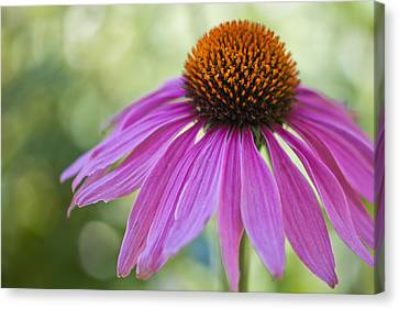Stunning Beauty Canvas Print by Heidi Smith