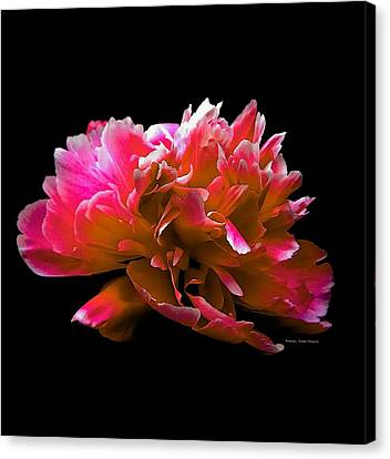 Stunning Peonie Canvas Print by Michelle Frizzell-Thompson