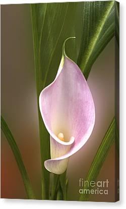 Stunning Pink Calla Lily Canvas Print by Deborah Smolinske