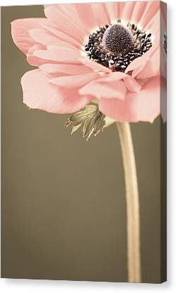 Subdued Anemone Canvas Print by Caitlyn  Grasso