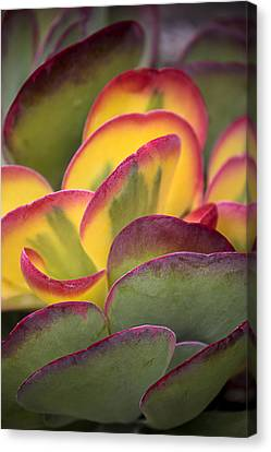 Distinctive Canvas Print - Succulent Light by Garry Gay