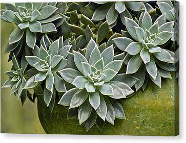 Succulent Rose In Moss Green Pot Canvas Print