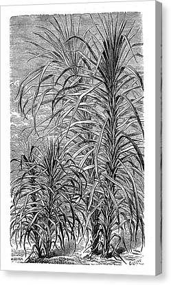 Sugar Cane Experiment Canvas Print by Science Photo Library