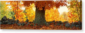 Sugar Maple Tree In Autumn, Peacham Canvas Print by Panoramic Images