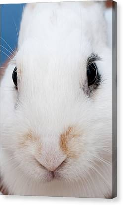 sugar the easter bunny 1 -A curious and cute white rabbit close up Canvas Print by Pedro Cardona