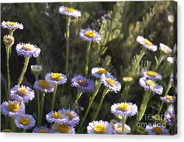 Suisun Marsh Aster In The Morning Light Canvas Print by Artist and Photographer Laura Wrede