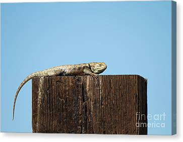 Sulky Lizard Canvas Print