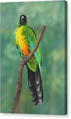 Eco-tourism Canvas Print - Sulphur-breasted Musk Parrot (prosopeia by David Wall