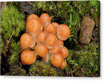 Toadstools Canvas Print - Sulphur Tuft (hypholoma Fasciculare) by Nigel Downer
