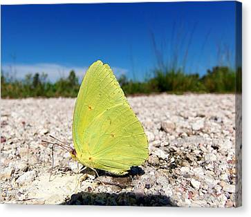 Canvas Print featuring the photograph Sulphur Yellow Butterfly by Chris Mercer