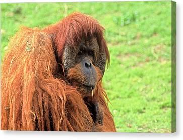 Sumatran Orangutan (pongo Abelii) Canvas Print by Photostock-israel