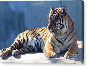 Sumatran Tiger 7d27276 Canvas Print by Wingsdomain Art and Photography