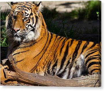 Sumatran Tiger 7d9105 Canvas Print by Wingsdomain Art and Photography