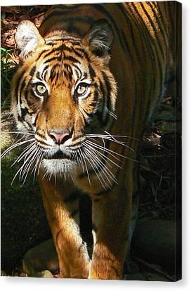 Sumatran Tiger Emerges Canvas Print by Margaret Saheed