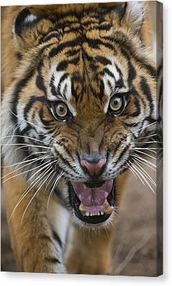 Sumatran Tiger Male Snarling Native Canvas Print by San Diego Zoo