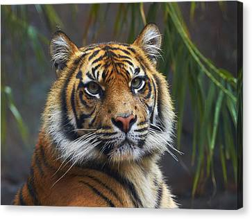 New Individuals Canvas Print - Sumatran Tiger by Martin Willis