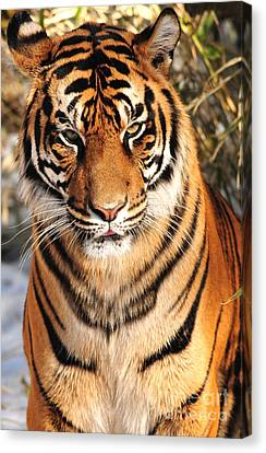 Canvas Print featuring the photograph Sumatran Tiger by Olivia Hardwicke