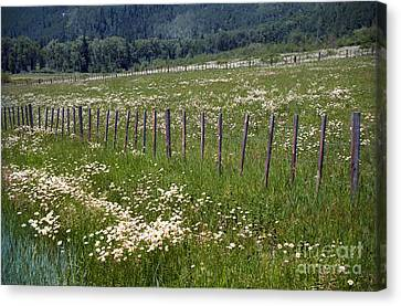 Summer Daises Canvas Print