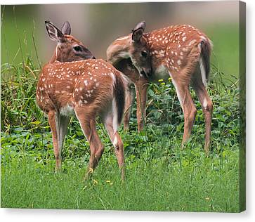 Summer Fawns Canvas Print by Lara Ellis