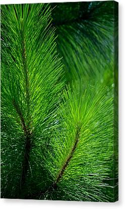 Summer Pine Glow Canvas Print
