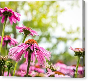 Summer Pink 1 Canvas Print by Susan Cole Kelly Impressions