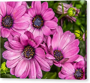 Summer Pink 3 Canvas Print by Susan Cole Kelly Impressions