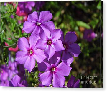 Summer Purple Phlox Canvas Print by D Hackett