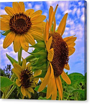 Summer Suns Canvas Print by John Harding