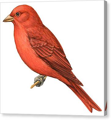 Summer Tanager  Canvas Print by Anonymous