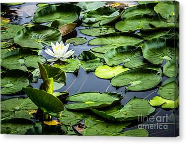 Summer Water Lily 1 Canvas Print by Susan Cole Kelly Impressions