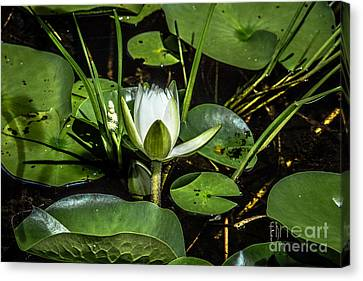 Summer Water Lily 2 Canvas Print by Susan Cole Kelly Impressions