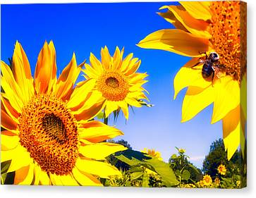 Summertime Sunflowers Canvas Print by Bob Orsillo