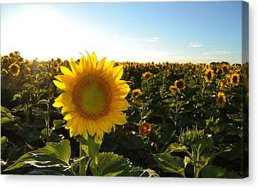 Sun And Sunflower 2  Canvas Print