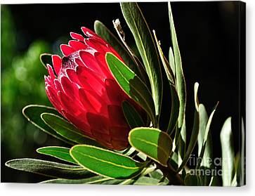 Sun-filled Protea Canvas Print by Kaye Menner