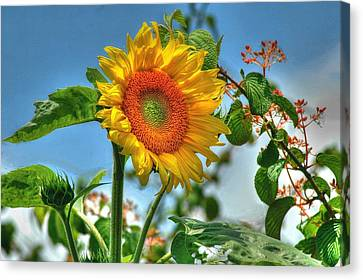 Sun Flower Canvas Print by Ed Roberts
