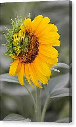 Canvas Print featuring the photograph Sun Flower by Nick Mares