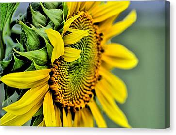 Sun Flower Canvas Print