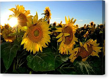 Sun Flowers And Pollen Wcae2  Canvas Print