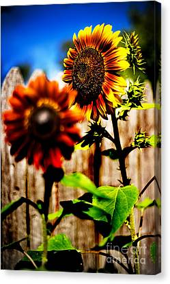 Sun Flowers Canvas Print by Randall  Cogle