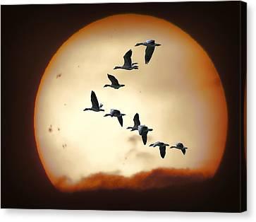 Sun Geese Canvas Print by Daniel Hagerman