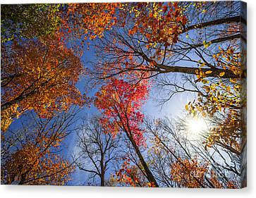 Maple Season Canvas Print - Sun In Fall Forest Canopy  by Elena Elisseeva