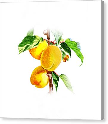 Sun Kissed Apricots Canvas Print by Irina Sztukowski