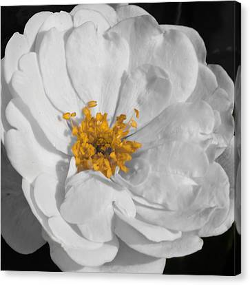 Sun Kissed Blossom Canvas Print by Dawn Currie