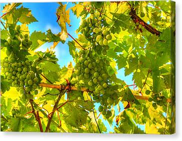 Sun Kissed Green Grapes Canvas Print by Eti Reid