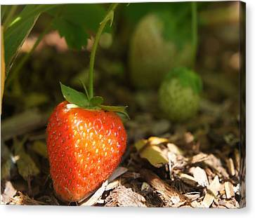 Sun Kissed Strawberry Canvas Print by Kristine Bogdanovich