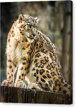 Canvas Print featuring the photograph Sun Leopard Portrait by Chris Boulton