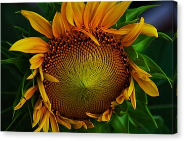 Canvas Print featuring the photograph Sun Lover by John Harding