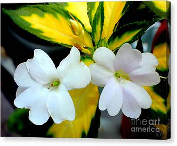 Sun Patiens Spreading White Variagated Canvas Print by Kathy  White