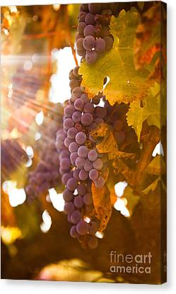 Sun Ripened Grapes Canvas Print by Diane Diederich